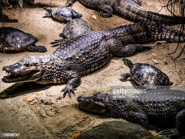 high angle view of alligators and tortoise walking on sand - medium group of animals stock pictures, royalty-free photos & images