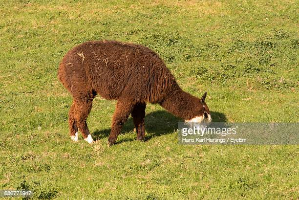 High Angle View Of Alpaca Grazing On Grassy Field