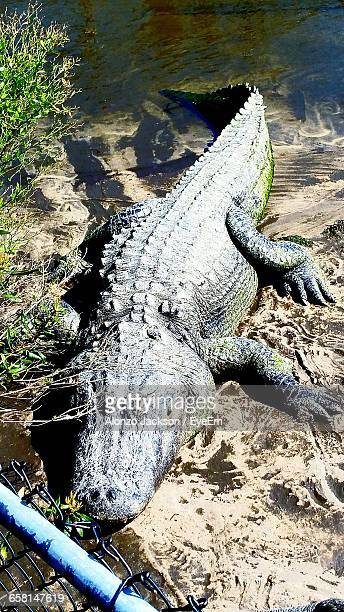 High Angle View Of American Alligator On Riverbank