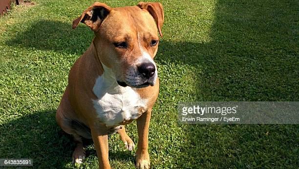 high angle view of american pit bull terrier in back yard - american pit bull terrier stock pictures, royalty-free photos & images