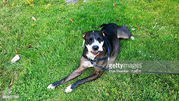 high angle view of american pit bull terrier sitting on grassy field - american pit bull terrier stock pictures, royalty-free photos & images