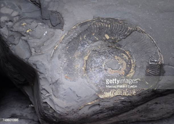 High Angle View Of Ammonite Fossil On Rock