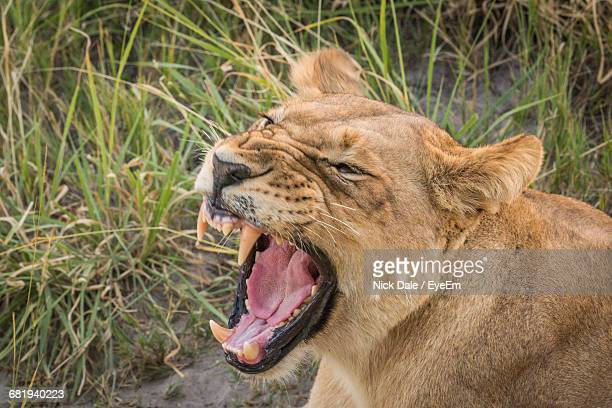 High Angle View Of Angry Lioness On Field