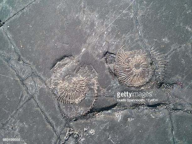 High Angle View Of Animal Shell Fossils On Rock