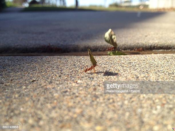 High Angle View Of Ant Carrying Food On Street