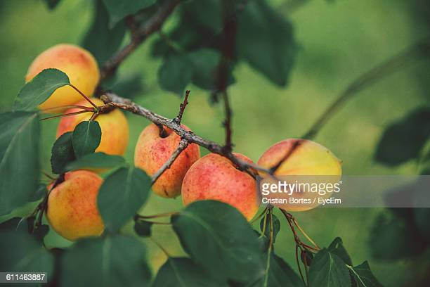 High Angle View Of Apricots Growing On Tree