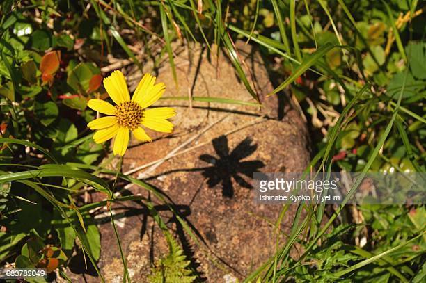 High Angle View Of Arnica Flower And Plants Growing On Sunny Day