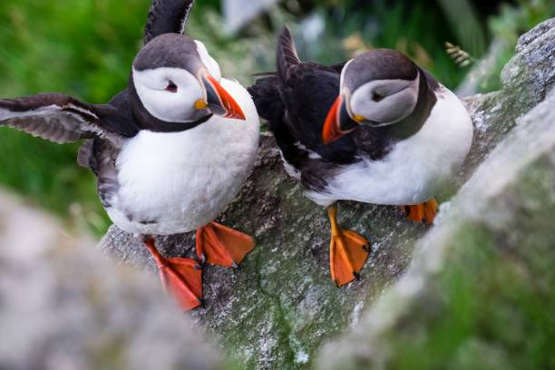 High angle view of atlantic puffin perching on rock