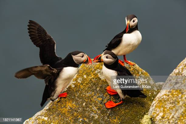 high angle view of atlantic puffin perching on rock,norway - images stock pictures, royalty-free photos & images