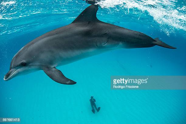 High angle view of atlantic spotted dolphin on surface and diver sitting on seabed, Northern Bahamas Banks, Bahamas