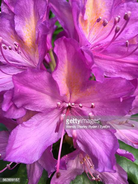 High Angle View Of Azalea Blooming Outdoors
