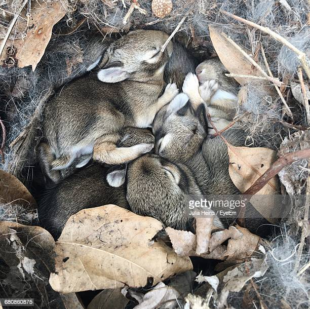 High Angle View Of Baby Rabbits Sleeping In Burrow