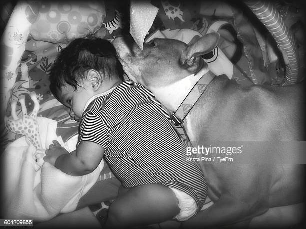 high angle view of baby sleeping with pit bull terrier in bed at home - pit bull photos et images de collection
