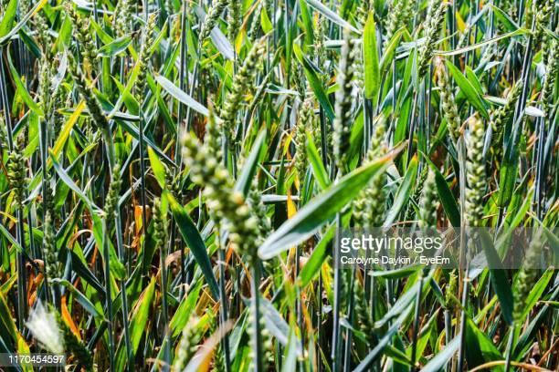 high angle view of bamboo on field - crop stock pictures, royalty-free photos & images