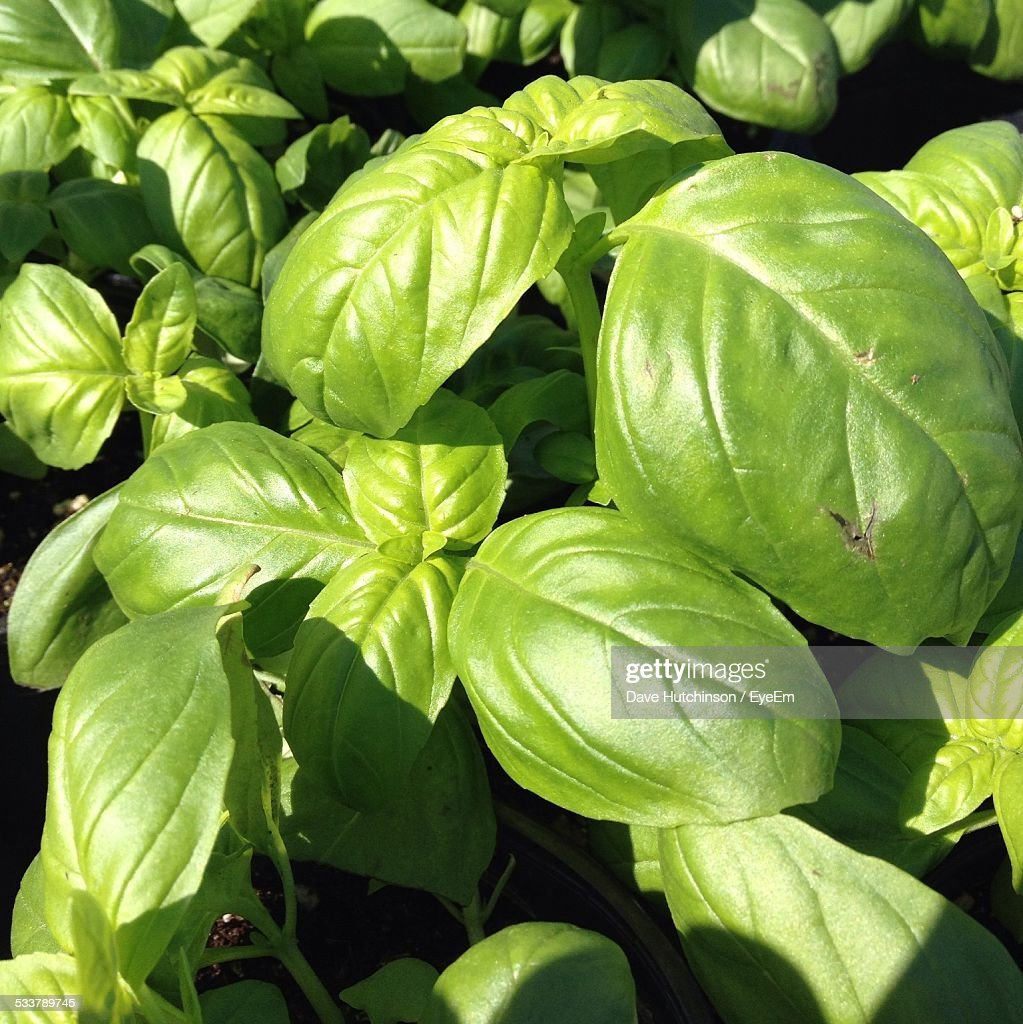 High Angle View Of Basil Plants On Sunny Day : Foto stock
