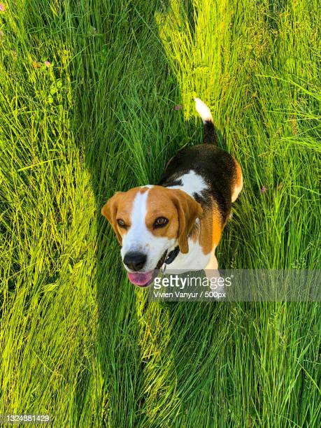 high angle view of beagle on grass,hungary - hound stock pictures, royalty-free photos & images