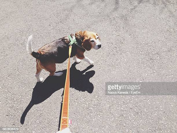 High Angle View Of Beagle Walking On Street