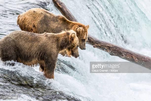 high angle view of bear on river, dillingham, united states - wasser imagens e fotografias de stock