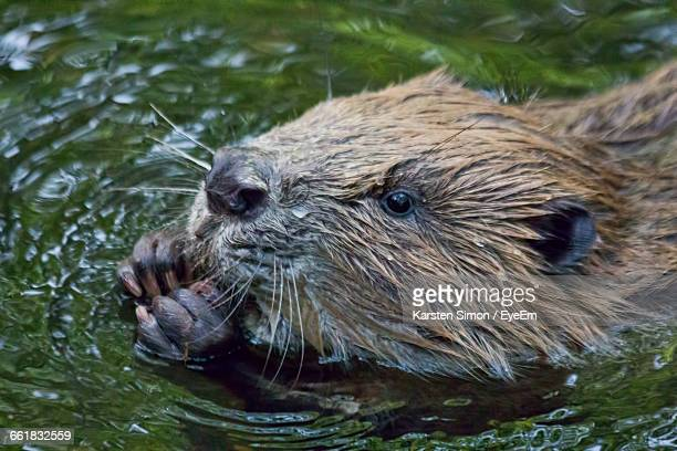 high angle view of beaver in pond - beaver stock photos and pictures
