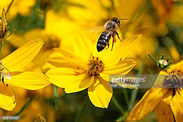 High Angle View Of Bee Hovering Over Yellow Cosmos Flowers