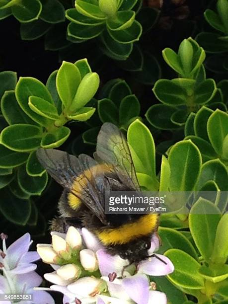 High Angle View Of Bee On Purple Flowers