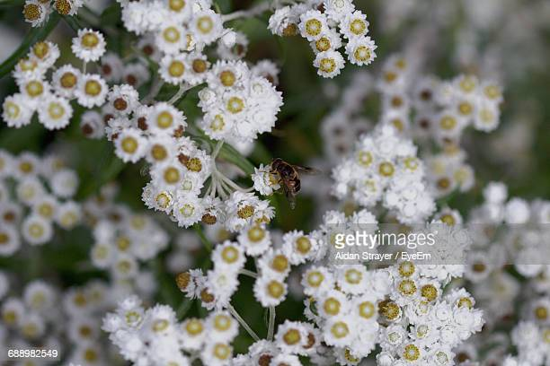 High Angle View Of Bee On White Flowers