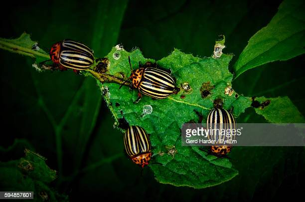 High Angle View Of Beetle Eating Leaf