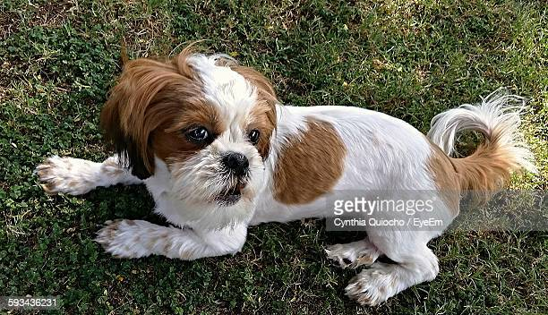 High Angle View Of Bichon Frise Dog Relaxing On Grassy Field