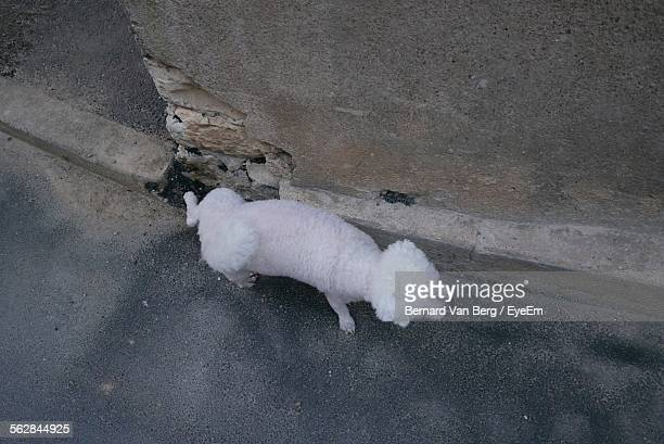 High Angle View Of Bichon Frise Urinating On Street