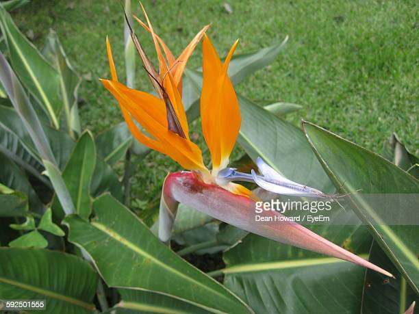 High Angle View Of Bird Of Paradise Flower Blooming On Field