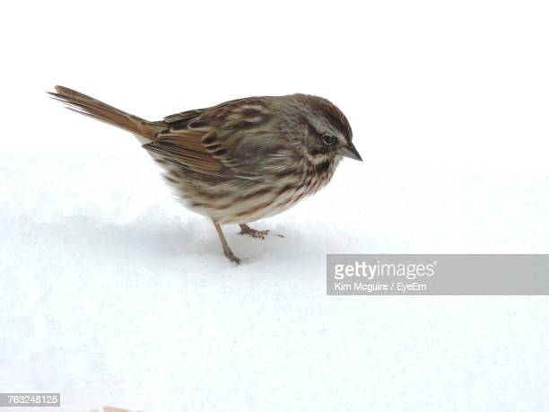 High Angle View Of Bird Sparrow Perching On Snowy Field