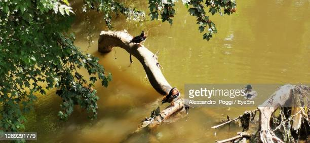 high angle view of birds swimming in lake - monza stock pictures, royalty-free photos & images