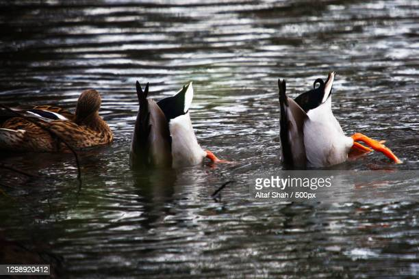 high angle view of birds swimming in lake,luton,united kingdom,uk - wildlife stock pictures, royalty-free photos & images