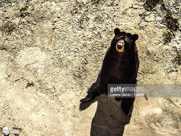 high angle view of black bear sitting on dirt road - bear tracks stock pictures, royalty-free photos & images