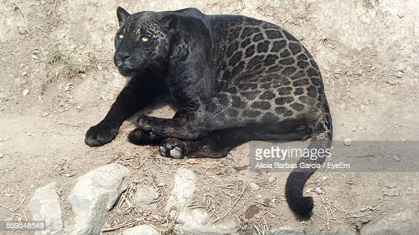 high angle view of black jaguar relaxing on field - jaguar stock photos and pictures