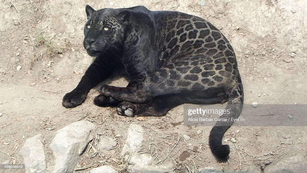 Great High Angle View Of Black Jaguar Relaxing On Field
