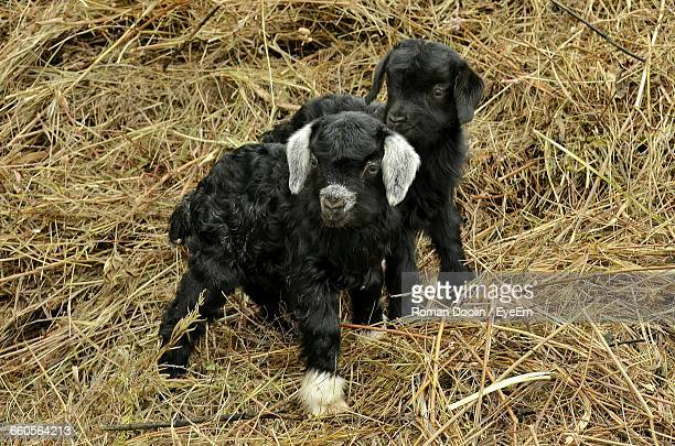 High Angle View Of Black Kid Goats On Hay