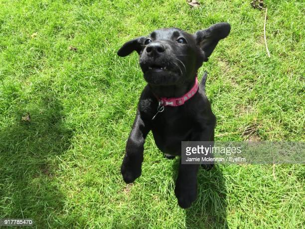 high angle view of black labrador rearing up on field - labrador preto imagens e fotografias de stock
