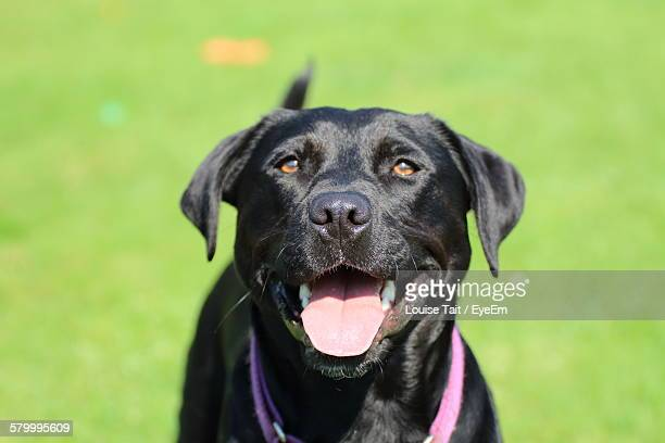 High Angle View Of Black Labrador Standing On Field
