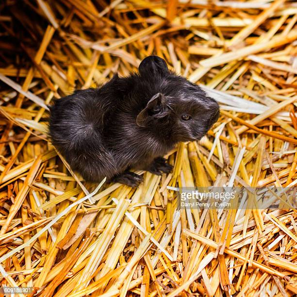 High Angle View Of Black Newborn Guinea Pig On Hay