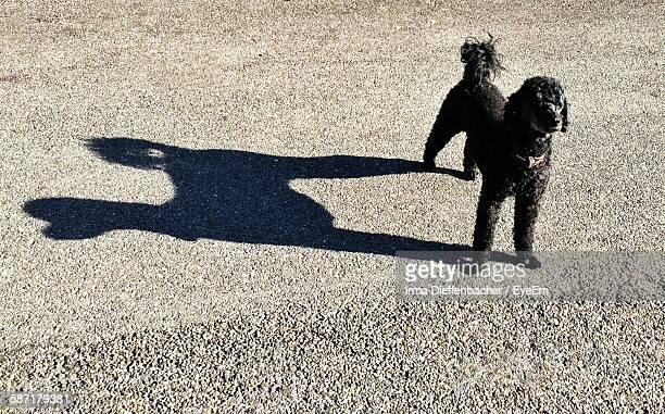 High Angle View Of Black Poodle On Road During Sunny Day