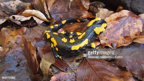High Angle View Of Black Salamander On Autumn Leaves