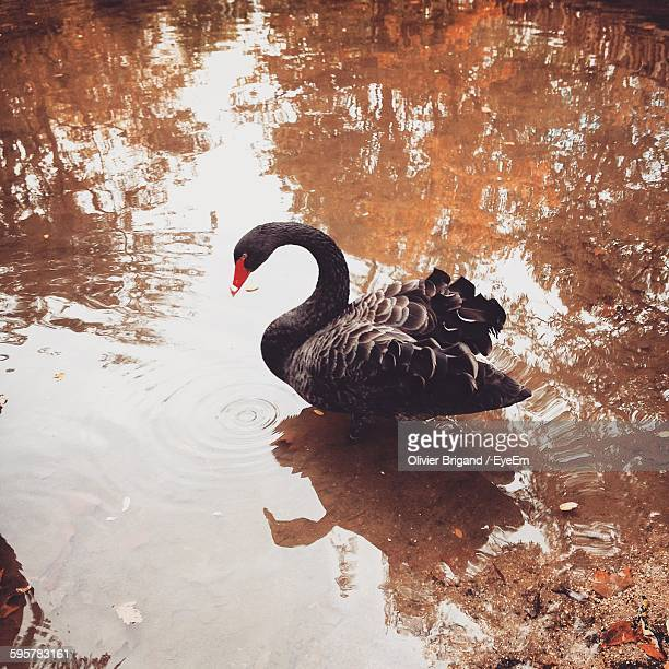 High Angle View Of Black Swan On Lake