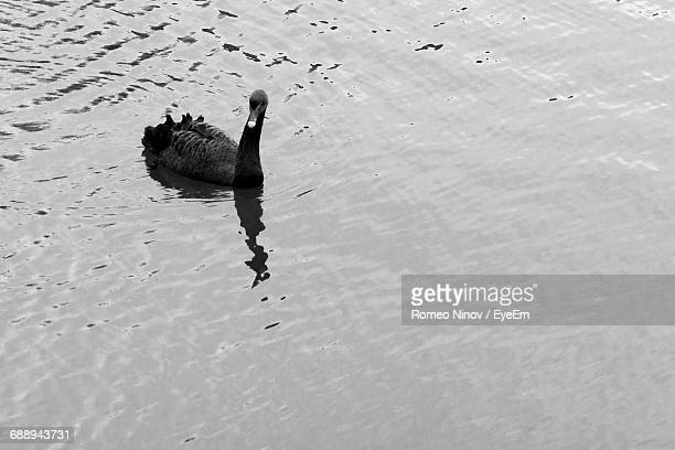 High Angle View Of Black Swan Swimming On Lake