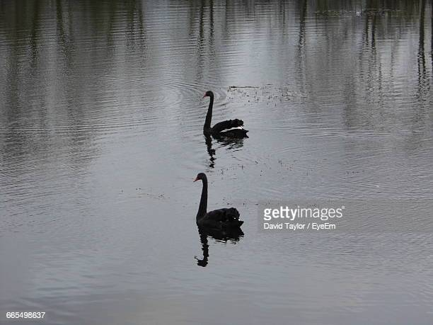 High Angle View Of Black Swans Swimming On Lake