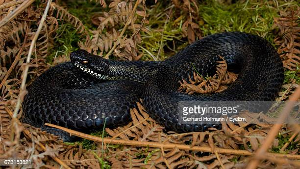 High Angle View Of Black Viper On Field