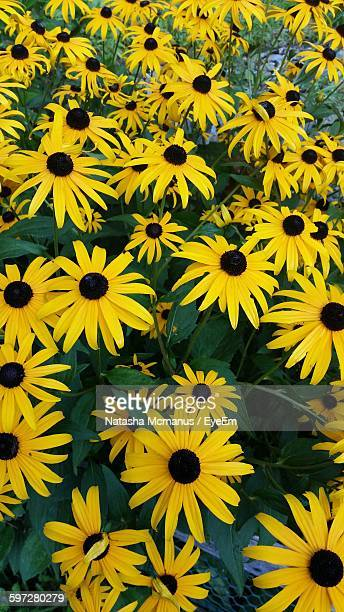 High Angle View Of Black-Eyed Susans Blooming In Park