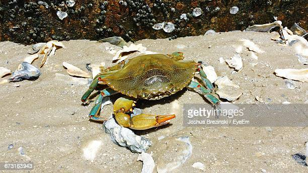 High Angle View Of Blue Crab At Beach