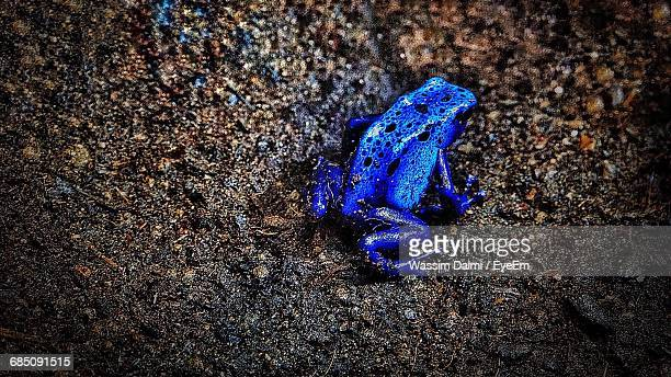 High Angle View Of Blue Frog On Field