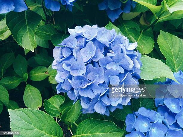 high angle view of blue hydrangea flowers blooming at park - あじさい ストックフォトと画像